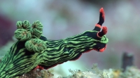 Mucky Secrets - Part 18 - Sea Slugs inc. Nudibranchs - Lembeh Strait | blue dragon nudibranch