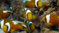 Just Keep Swimming - Anilao Saddleback Clownfish  | Saddleback Clownfish