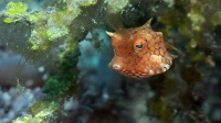 Mucky Secrets - Part 12 - Boxfishes, Puffers & Porcupinefishes - Lembeh Strait  | Thornback Cowfish
