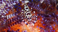 Chariot of Fire - Fire Urchins with Coleman Shrimps, Zebra Crabs & Urchin Crabs | Fire Urchin