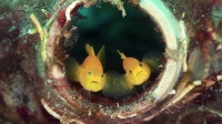 Mucky Secrets - Prologue - The Marine Creatures of the Lembeh Strait  | Synchiropus splendidus