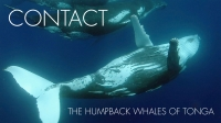 Contact - The Humpback Whales Of Tonga | Humpback Whale