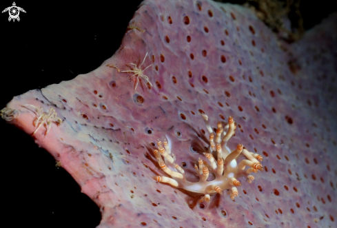 A Nudibranch and crabs