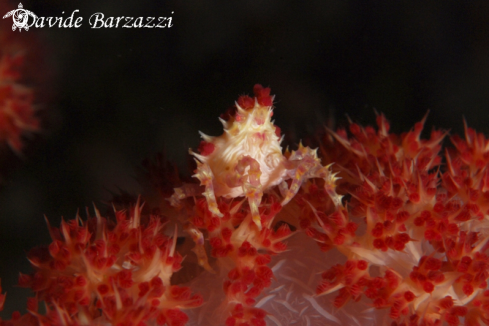 A Soft coral spider crab