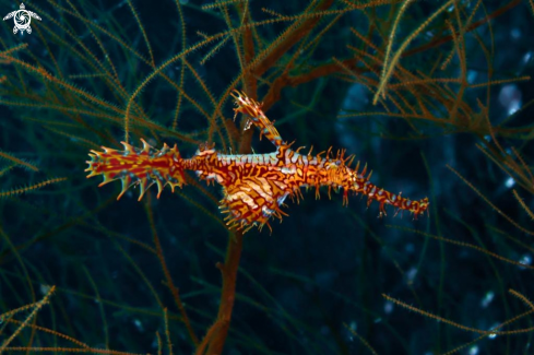 A  Harlequin Ghost Pipefish