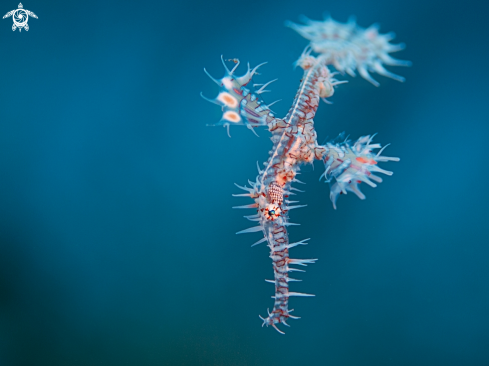 A Harlequin ghostpipefish