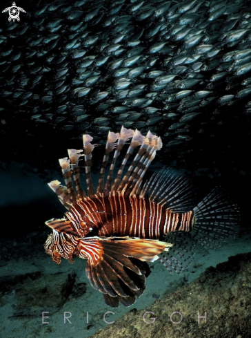 A Lionfish and Yellowtail Scad