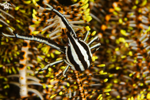 A Allogalathea Elegans | Crinoid Squat Lobster