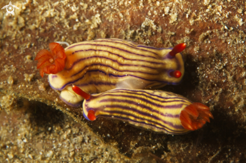 A Hypselodoris whitei | Nudibranch