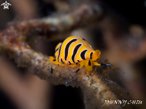 A Tiger egg cowrie