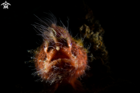 A red hairy frog fish