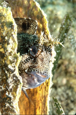A Parablennius gattorugine | Blennide gattoruggine