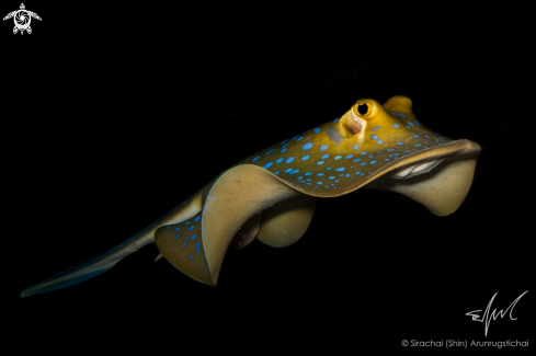 A Taeniura lymma | Bluespotted Ribbontail Ray