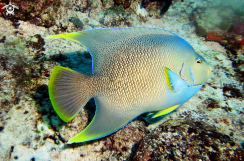 A pesce angelo - QUEEN ANGELFISH