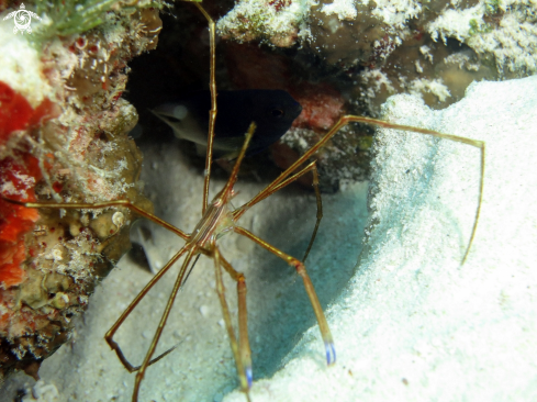 A arrow crab