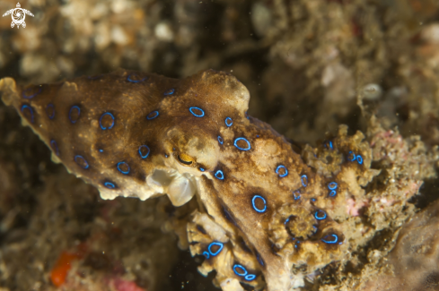 A Hapalochlaena | Blue Ring Octopus