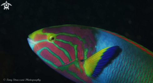 A Thalassoma lutescens | Green Moon Wrasse