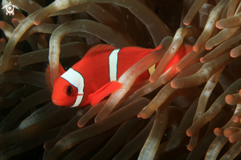 A anemone fish