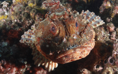 A Red scorpionfish