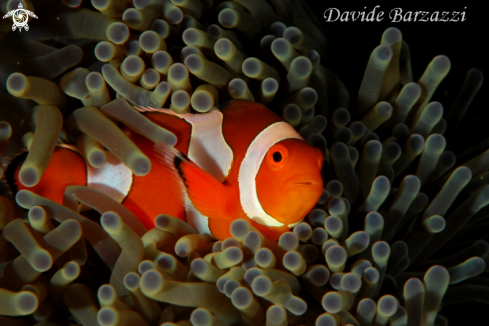 A Amphiprion ocellaris | clown fish