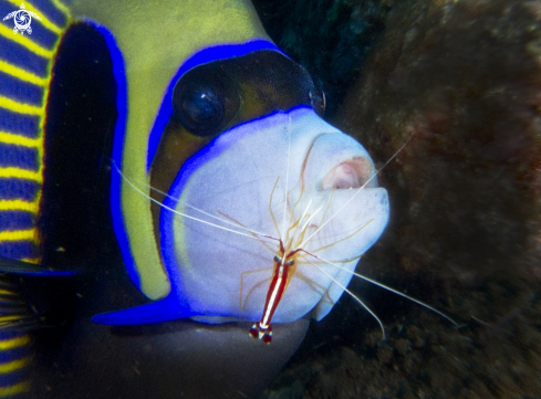 A emperor angelfish and cleaner shrimp