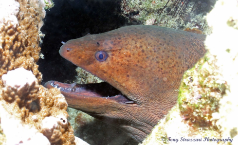 A Moray eel with cleaner shrimp