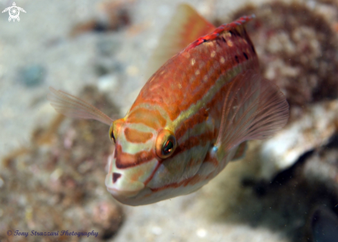 A Gunther's Wrasse