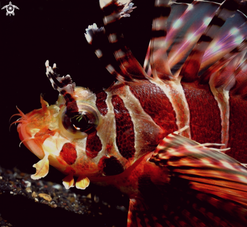 A Clearfin lionfish