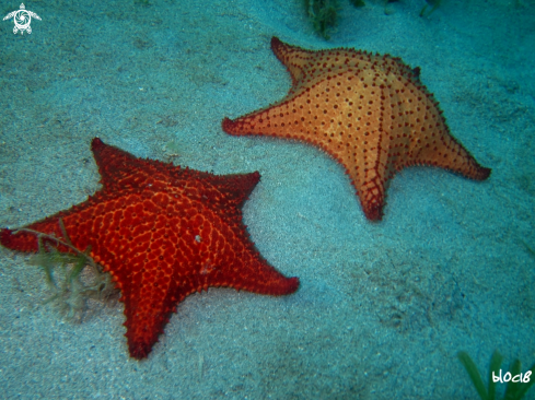 A red cushion sea star