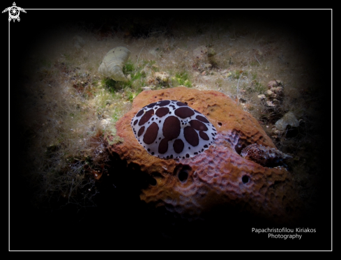 A Peltrodoris atromaculata | Island proti-Messinia-Greece
