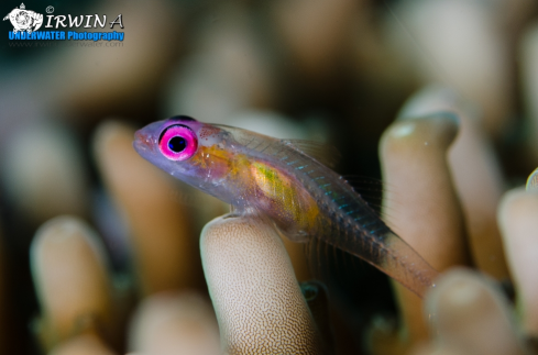 A Pink-eye goby