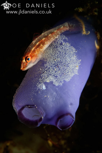 A Common Ghost Goby