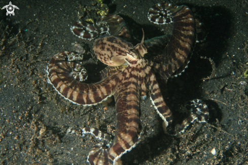 A Wonderpus Octopus