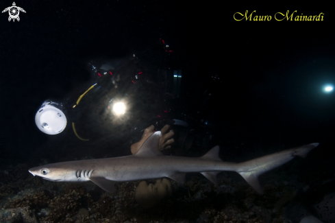 A Reef shark white tip