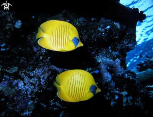 A Butterfly fish