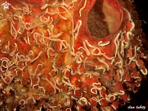 A Synapta lamperti | sea cucumber