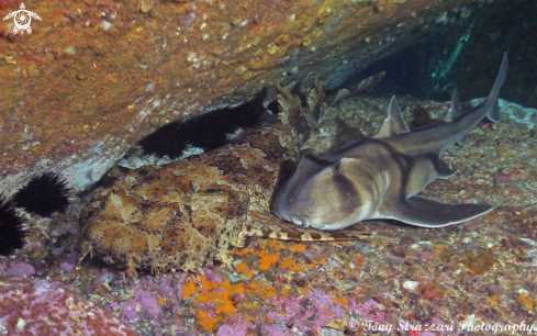 A Ornate wobbegong and Port jackson Shark