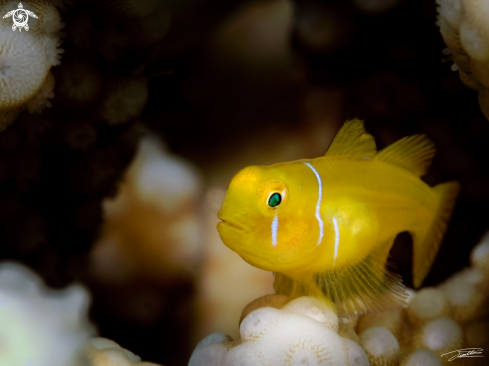 A Poison Goby