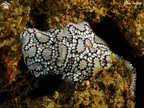 A colonial ascidian | Sea Squirt