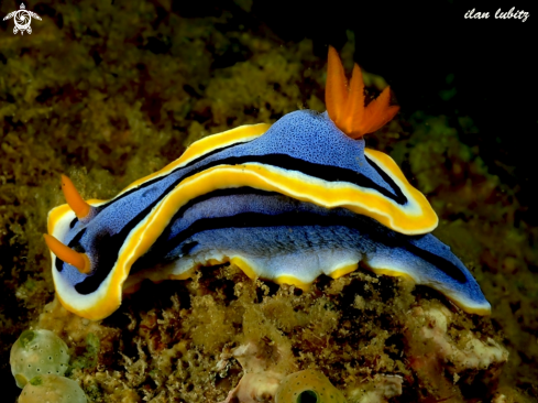 A Chromodoris annae | nudibranch