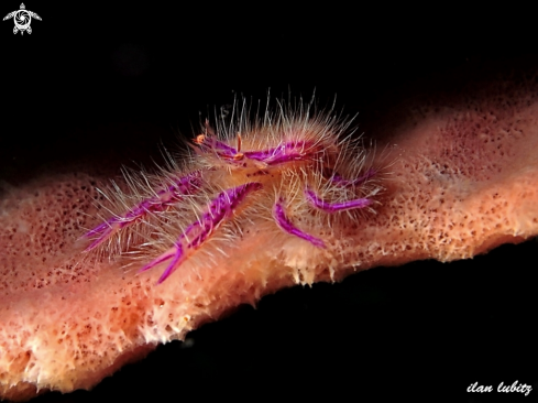 A Lauriea siagian | Pink squat lobster