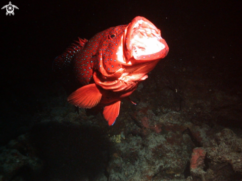 A Red grouper