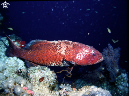 A Spotted coral grouper