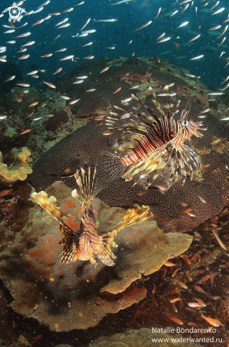 A Lion-fishes