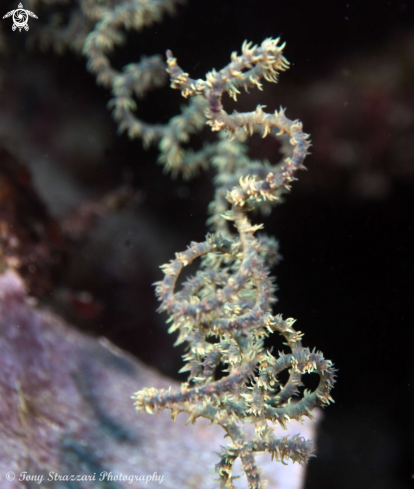 A Black coral whip