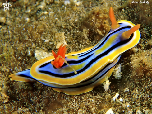 A Chromodoris elisabethina | nudibranch