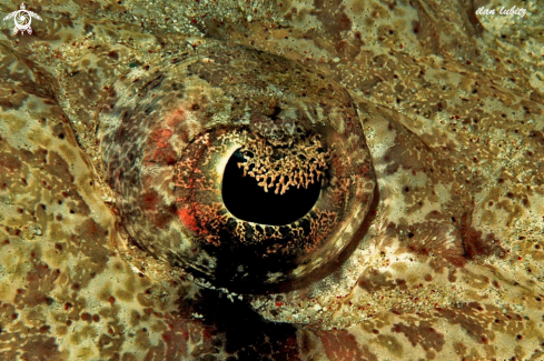A Eye of Crocodile fish