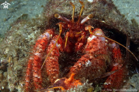 A Red hairy hermit crab