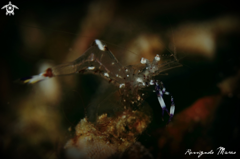 A Periclimenes holthuisi | commensal shrimp