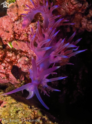 A Flabellina affinis | Purple flabeline.